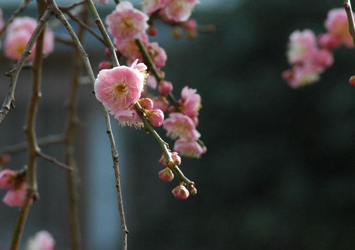 三浦の桜小松池 150