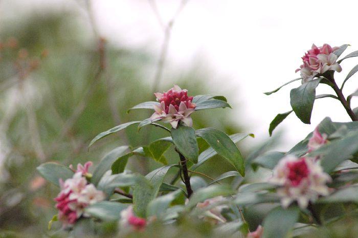 三浦の桜小松池 008