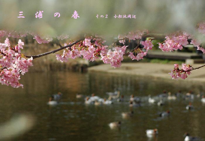 三浦の桜小松池 050