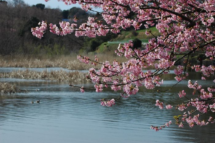 三浦の桜小松池 063