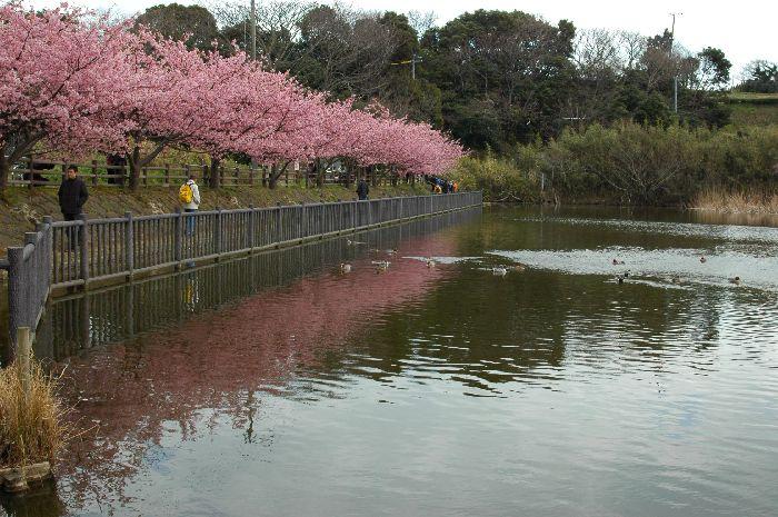 三浦の桜小松池 140