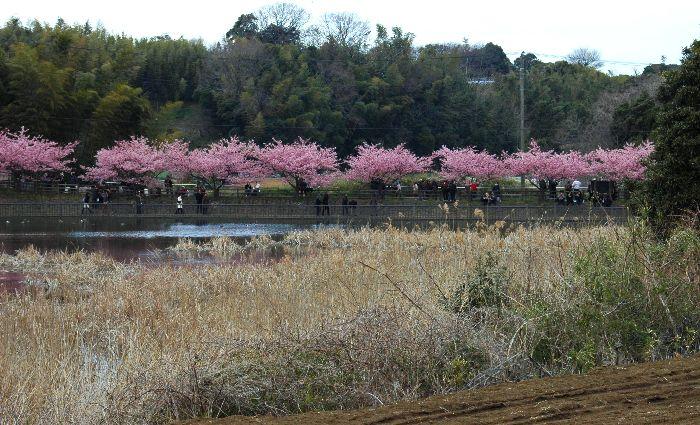 三浦の桜小松池 097