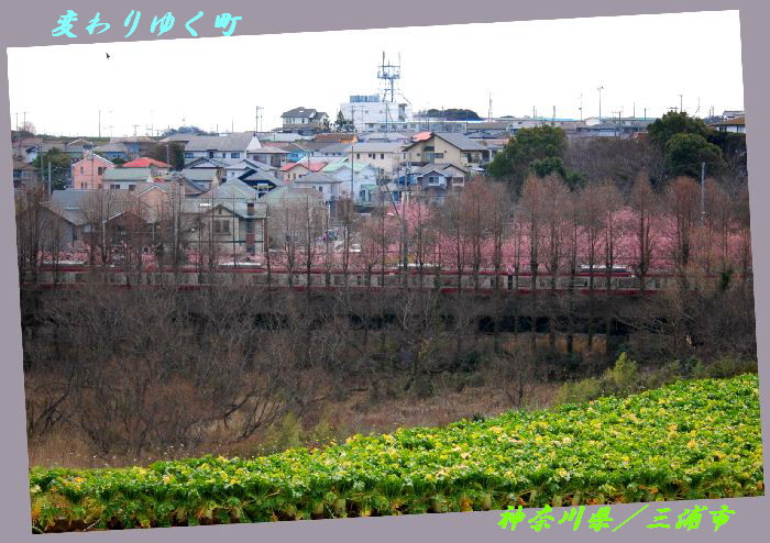 三浦の桜小松池 086