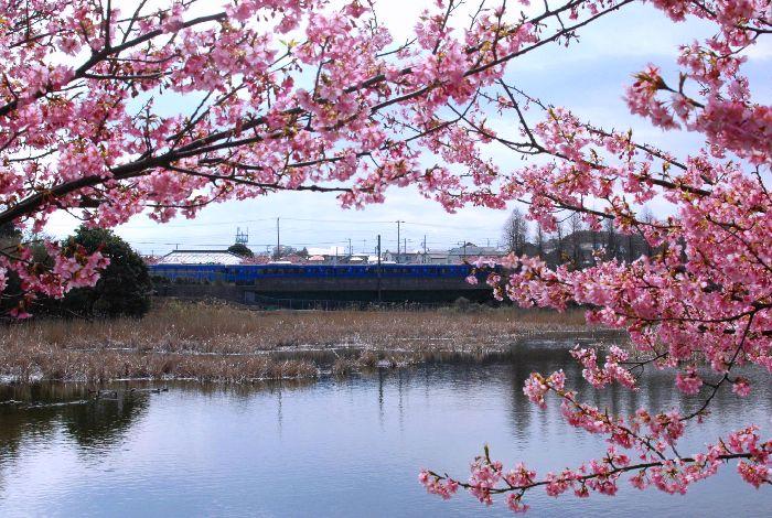 コピー ~ 三浦の桜小松池 078
