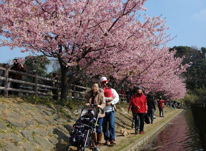 三浦の桜小松池 316