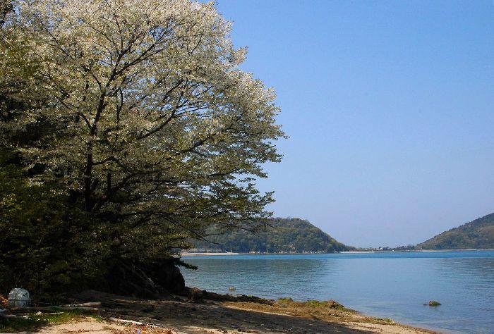 綾川の枝垂れ桜等 130