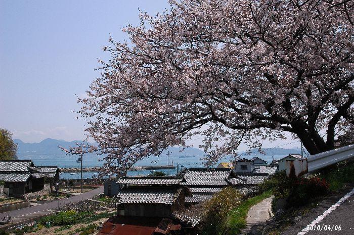 綾川の枝垂れ桜等 210