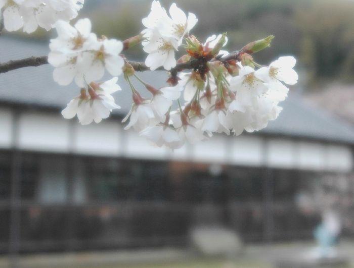 コピー ~ 粟島・桜1 046