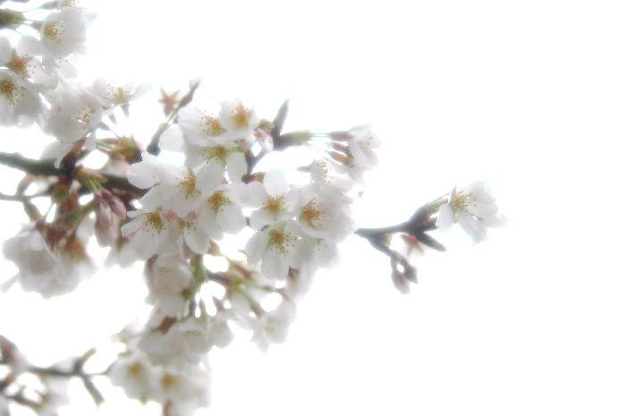 粟島・桜1 043