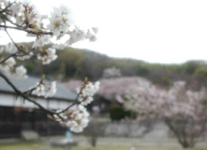 粟島・桜1 048