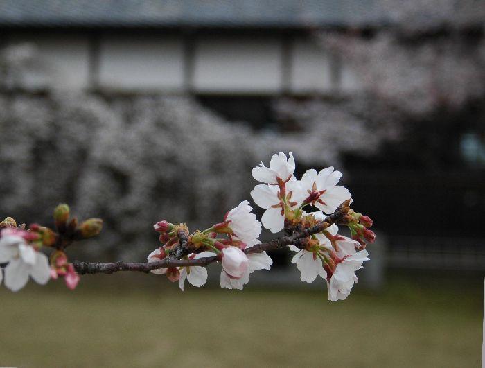 粟島・桜1 052