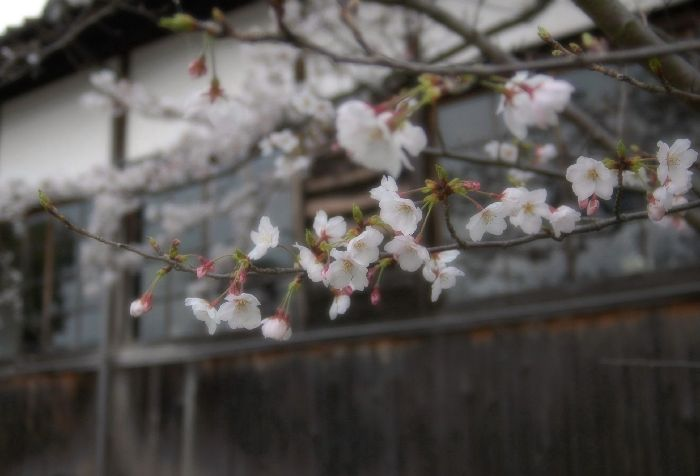 粟島・桜1 037