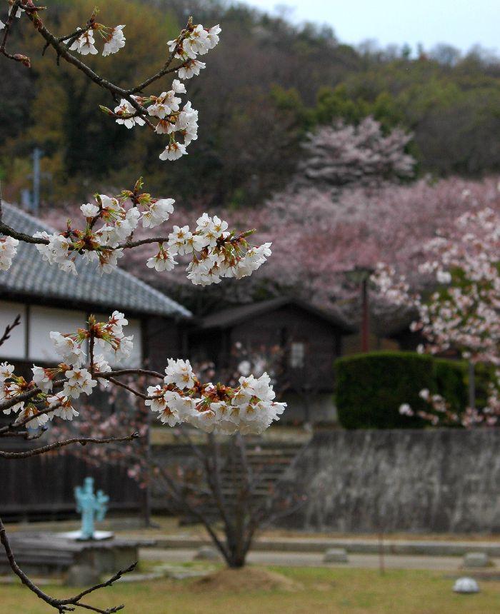 粟島・桜1 030