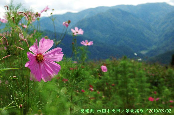 翠波高原のコスモス 053
