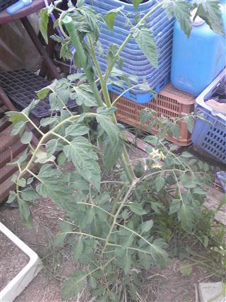 トマト こぼれ種