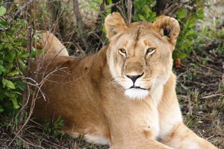 マサイ マラ ライオン
