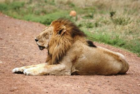 マサイ マラ ライオン 2