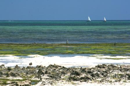 ザンジバル 岩と海草