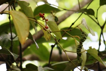ザンジバル 胡椒