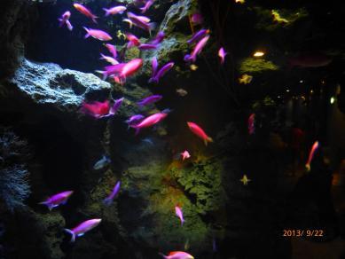 ピンクの魚キレイ