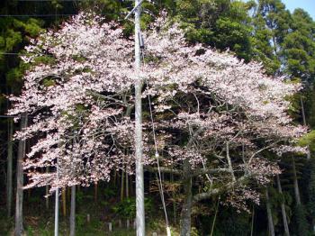 桜_convert_20100406212851
