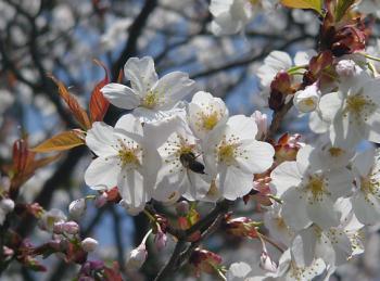 ハチ&桜_convert_20100406212934