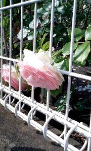 110613_rose.jpg