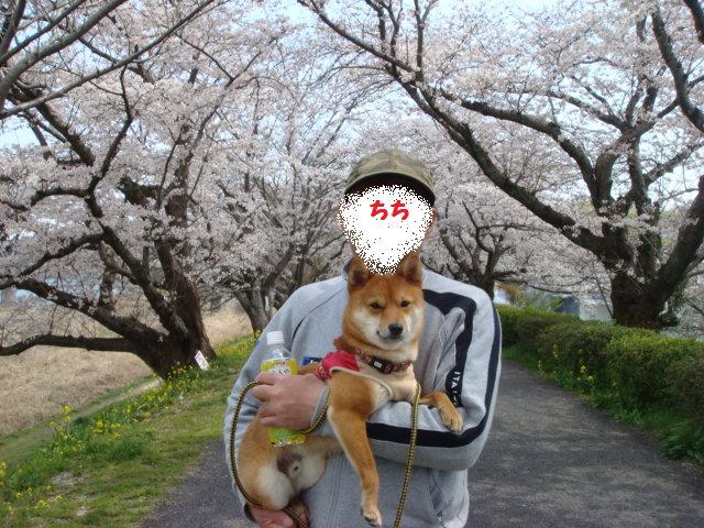 土手での桜