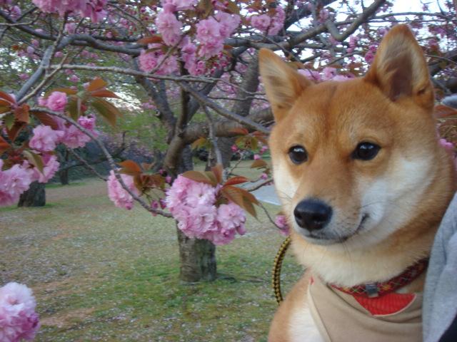 大ちゃんと桜1