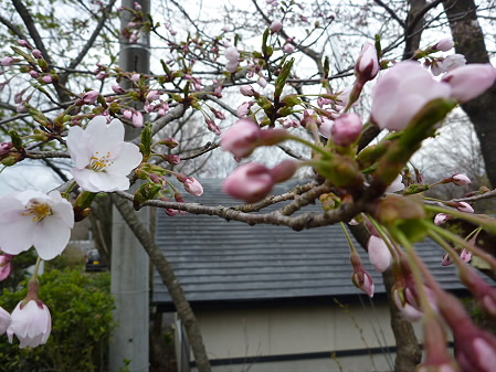 四十四田ダムの桜05(2011.4.29)