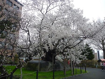 石割桜02(2011.4.30)
