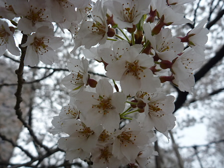 石割桜03(2011.4.30)