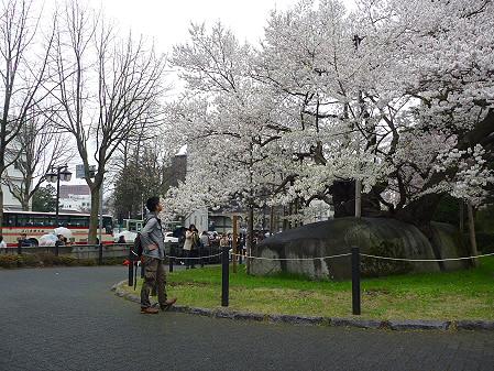 石割桜01(2011.4.30)