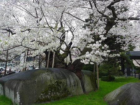 石割桜04(2011.4.30)