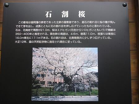 石割桜05(2011.4.30)