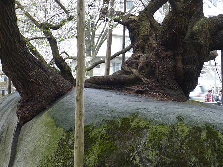 石割桜07(2011.4.30)