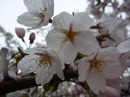 盛岡城跡公園の桜06(2011.4.30)