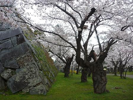 盛岡城跡公園の桜07(2011.4.30)