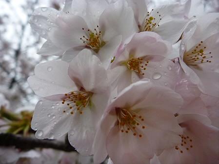 盛岡城跡公園の桜10(2011.4.30)
