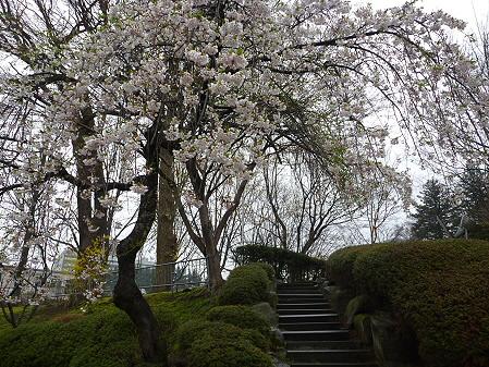 盛岡城跡公園の桜11(2011.4.30)