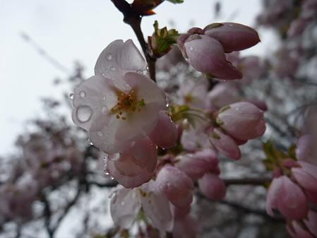 岩手大学の桜01(2011.4.30)