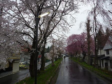 岩手大学の桜02(2011.4.30)