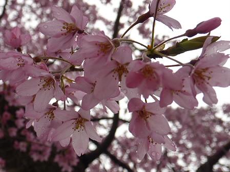岩手大学の桜03(2011.4.30)