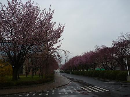 岩手大学の桜04(2011.4.30)
