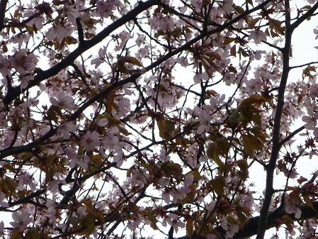 岩手大学の桜05(2011.4.30)