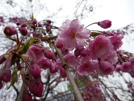 岩手大学の桜06(2011.4.30)