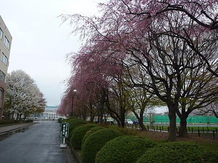 岩手大学の桜08(2011.4.30)