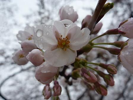 高松公園の桜07(2011.4.30)