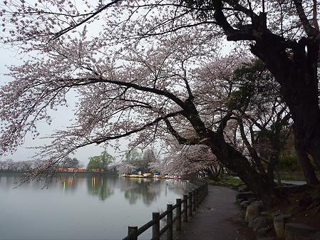 高松公園の桜18(2011.4.30)