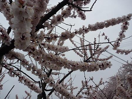 高松公園の桜20(2011.4.30)